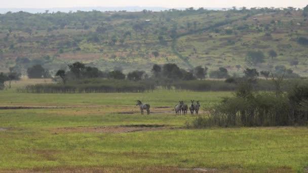 Herd of Zebra in Natural Real Africa Savanna. Animal, animals, wild, wildlife, nature, natural, real, documentary, mammal, long, zoom, telephoto, grassland, prairie, moorland, meadow,wold, pasture 4K