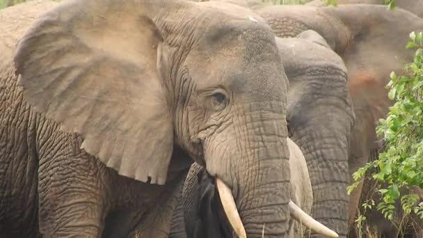 Sloni jsou savci čeledi Elephantidae a největší suchozemská zvířata. Africký keřový les Asiat. Ušní kly býložravce. Národní park Mikumi, Tanzanie.