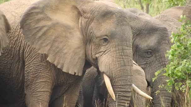 Elephants are mammals of the family Elephantidae and the largest existing land animals. African bush forest Asian. Ears tusks herbivore. Mikumi National Park, Tanzania.