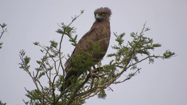 Brown Snake Eagle Sitting on the Tree Watching Around in Africa.Accipitridae. It is found in West, East and southern Africa. Common buzzard is a large bird of prey. A member of the genus Buteo, it is a member of the family Accipitridae. Circaetus 4K