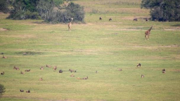 Mixed Wildlife Animals in the Standard Natural African Savannah. Animal animals wild wildlife zebra giraffe topi mammal long zoom tele zoom telephoto mega grassland prairie moorland meadow antelope