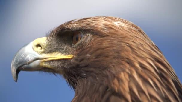 A golden eagle bird perching.Aquila chrysaetos Accipitridae hunter predator raptor raptorial bird kořist sedí sedí sedí čeká hlava oko zobák peří chochol zblízka tele zoom kinematické pozadí krajina pohled příroda skutečný zvíře křídlo 4K