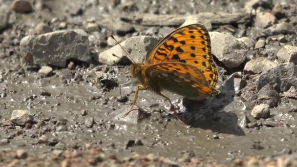 Butterfly on the ground surface.Pieridae insecta lepidoptera Aporia crataegi Lycaenidae wild wildlife animal infestation invasion incursion irruption insect insects macrolepidoptera fluttering brown orange black line lines striped lined striated film