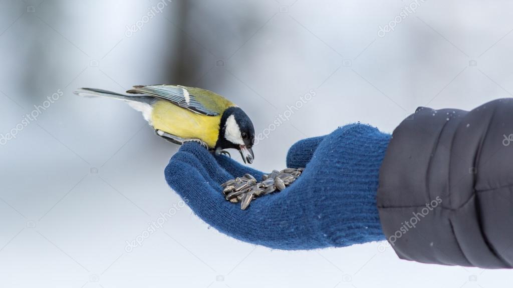 tit eats sunflower seeds from a hand.