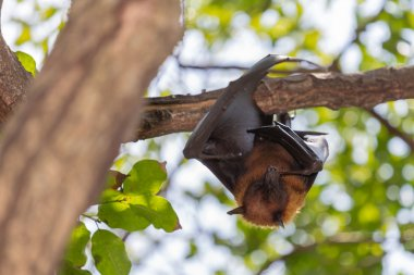 Flying foxes hanging on a tree.