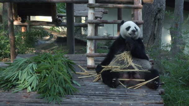 Funny Giant Panda Eating Bamboo.