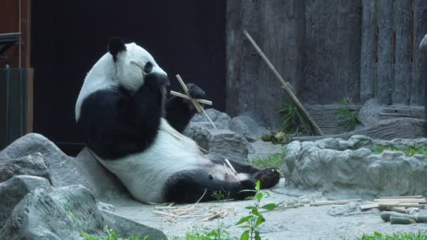 wide shot of a Funny Giant Panda Eating Bamboo