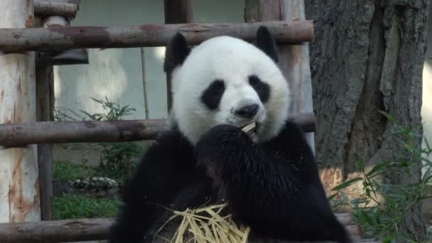 medium shot of a Funny Giant Panda Eating Bamboo
