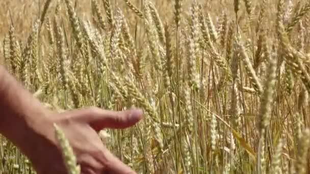 mužská ruka běží přes pšeničné pole