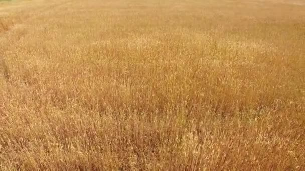 Aerial footage of wheat field swaying in the wind