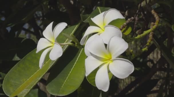 White Frangipani Flower At Full Bloom During Summer