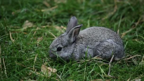 Šedý králíček sniffs a žere trávu