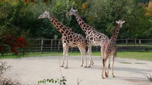 zsiráf az állatkertben