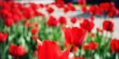 Vörös tulipán a a virágágyásba. Életlen fénykép. Makró.