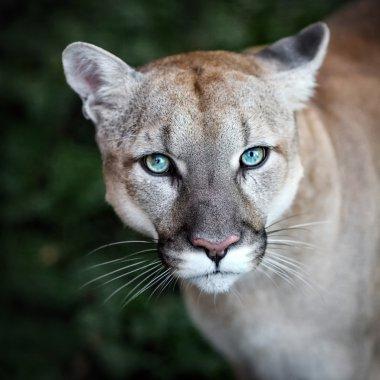 Puma with blue eyes