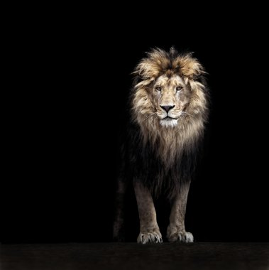 Beautiful lion in darkness