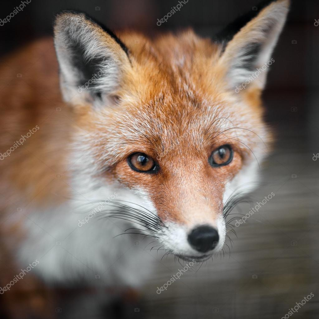 Portrait of a red fox male, vulpes vulpes.