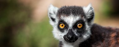 Lemur looking, Ring-tailed lemur (Lemur catta) wild portrait