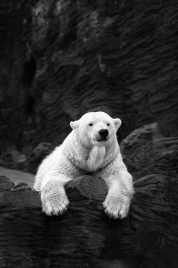 White bear on the rocks, Lying polar bear situated on a rock
