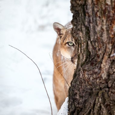 Portrait of a cougar, mountain lion, puma,cougar behind a tree.