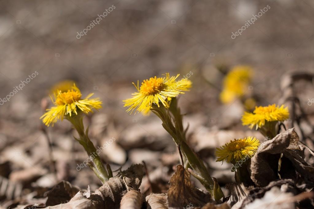the group Tussilago flowers