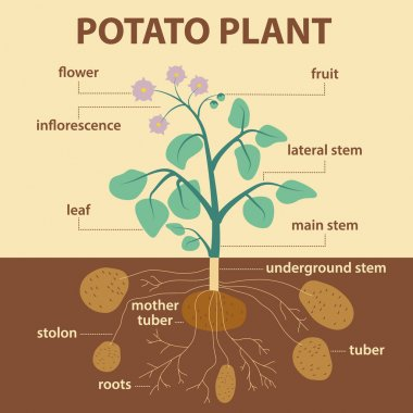 Illustration showing parts of potato platnt