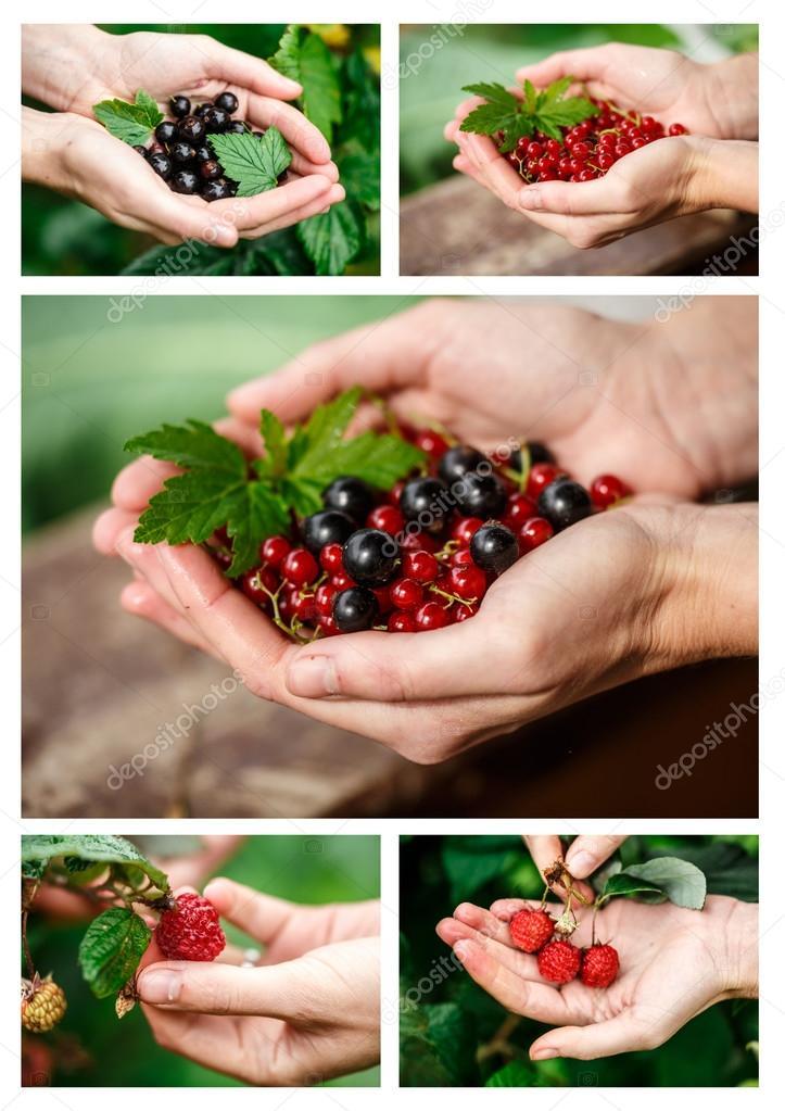 Berries picking