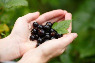 Blackcurrant picking