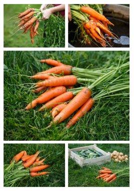 Carrots harvesting