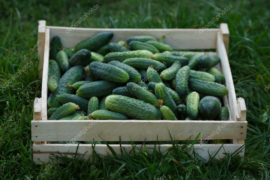 freshly Cucumbers harvest