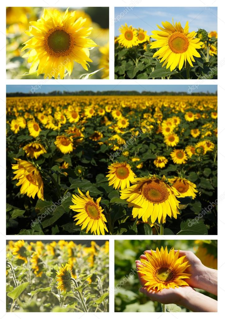 collage de girasoles — Fotos de Stock © maxsol7 #82517626