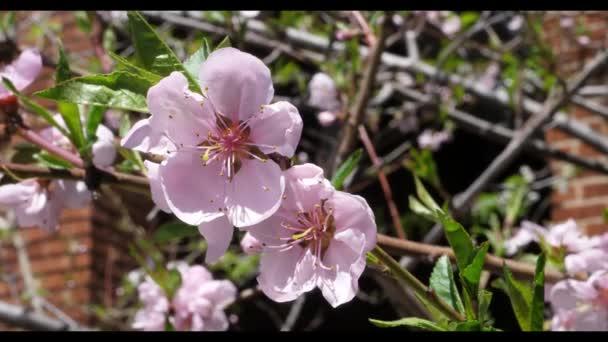 Tavaszi kert őszibarack virág virágzik