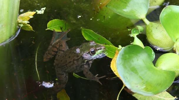 ein grüner Frosch, Lithobates Clamitans, teilweise unter Wasser