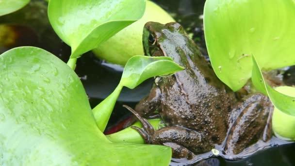 ein grüner Frosch, Lithobates Clamitans, sitzt auf einem Seerosenblatt