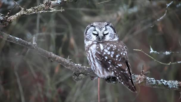 Close view of Boreal Owl, Aegolius funereus