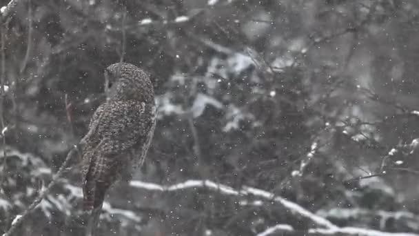un grande gufo grigio, strix nebulosa nella neve
