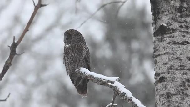 A Great Gray Owl, Strix nebulosa