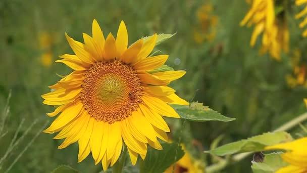 společné slunečnice, helianthus annuus, na letní den
