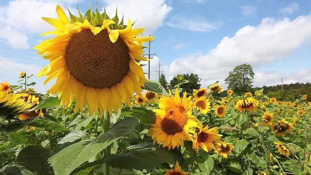 společné slunečnice, helianthus annuus, za jasného letního dne