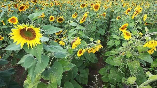 společné slunečnice, helianthus annuus, pole za jasného letního dne
