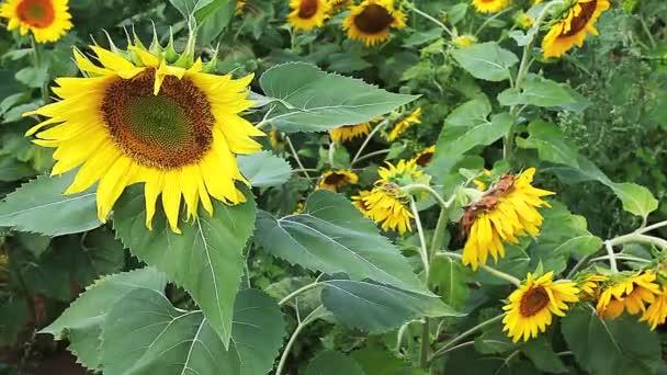 společné slunečnice, helianthus annuus, rostoucí na světlé letní den