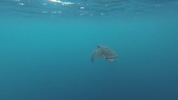 Green Sea Turtle, Chelonia mydas, swimming in the Galapagos Islands