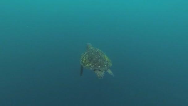 Green Sea Turtle, Chelonia mydas, swimming in the Galapagos