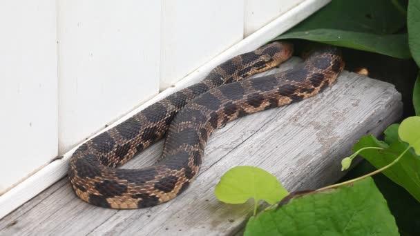 Eastern Fox Snake, Pantherophis gloydi