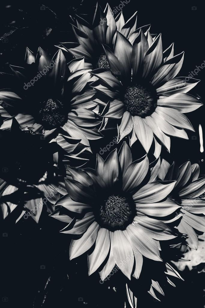 Sunflowers On Black Background And White Photo By Luciopepi Clashot