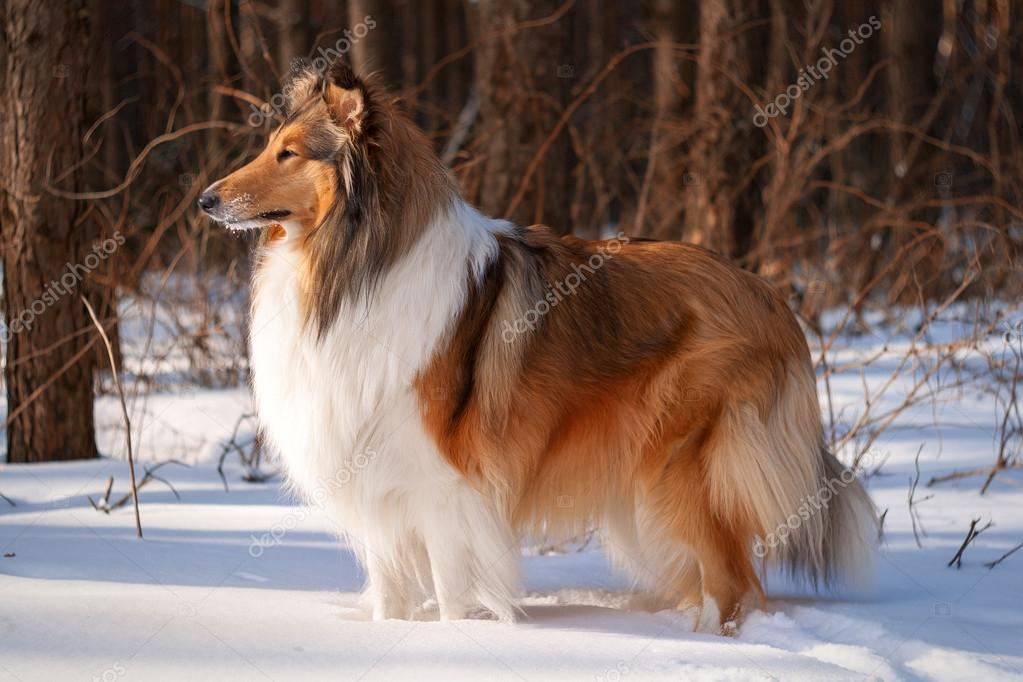 Rough collie in winter forest.