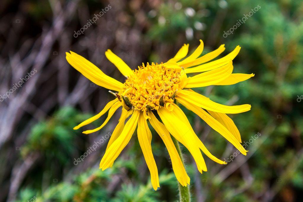 Close Arnica Montana Flower Dolomites — Stock Photo