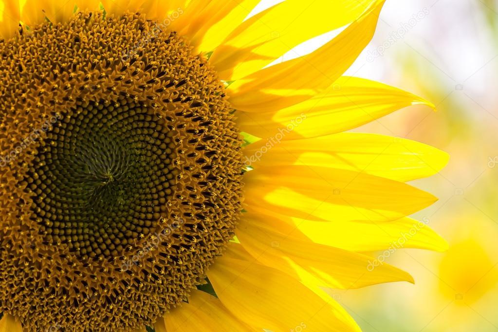 closeup of a beautiful sunflower