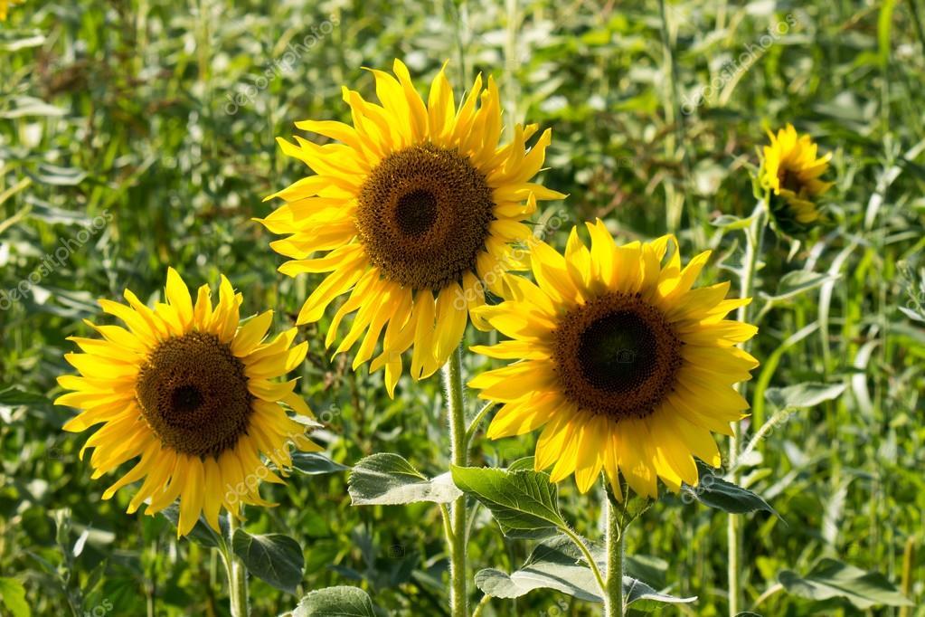 tree sunflower