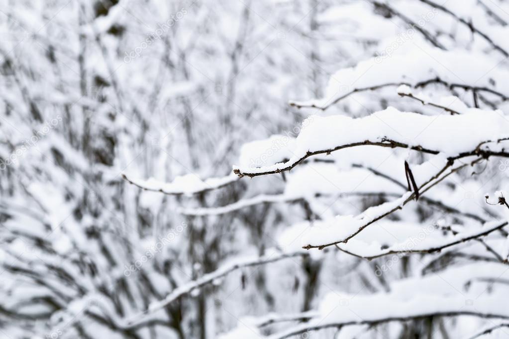 Bush brunches under snow, selective focus